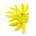 Fleurs d'Ylang-Ylang